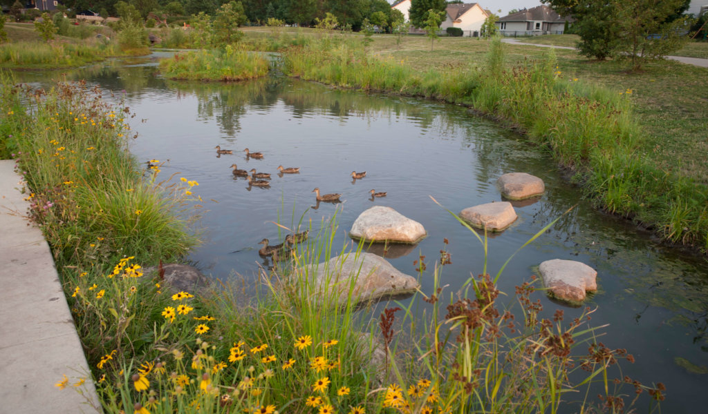 small pond with ducks