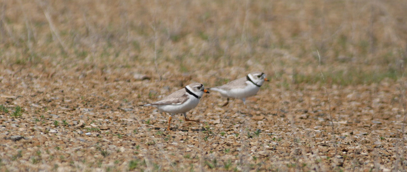 Close up two endanger Piping Plovers walking along the ground.