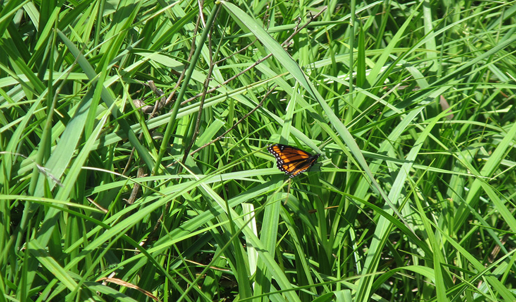 monarch butterfly on grass in wetland mitigation site